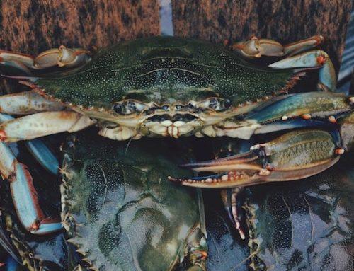 Mud Crab Madness!